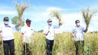 Bupati Tapanuli Utara Drs. Nikson Nababan, panen perdana padi Gogo di Dusun II, Sihantandahon, Desa Pohan Julu Kecamatan Siborongborong, Kabupaten Tapanuli Utara, Rabu (16/6/2021).