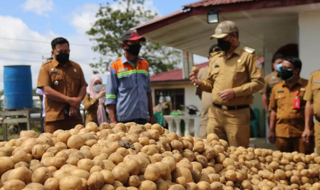 Bupati Taput Nikson Nababan panen perdana kentang untuk penangkaran seluas dua hektar di Dusun Pealangge, Desa Paniaran Kecamatan Siborongborong, Senin (19/7/2021).