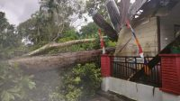 Dua unit ruang bangunan Sekolah Dasar (SD) Negeri 174475 Tordolok Nauli di Kecamatan Pahae Jae, Kabupaten Tapanuli Utara, Sumatera Utara, rusak parah ditimpa pohon durian.